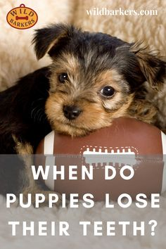 When Do Puppies Lose Their Teeth? Teeth Development and Puppy Teething Puppy Teething, Teething Stages, Puppy Stages, Australian Labradoodle, Puppy Biting, Can You Help, Types Of Dogs, Dog Teeth, New Puppy