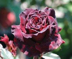 Black Baccara® Categories: Hybrid Tea Roses Unusual Color Roses Product Description A one of a kind rose having a velvety texture and unique color with a mild nutty fragrance. The bloom (petals are produced on a continual blooming Black Baccara Roses, Red Roses, Burgundy Flowers, Deep Burgundy, My Flower, Flower Power, Beautiful Roses, Beautiful Flowers, Gardens