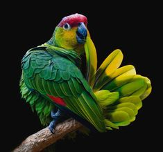 I am not sure of the type bird this is, it doesn't totally look like the green type Macaw :-) Beautiful pic I wish I could credit the person for it :-) Pretty Birds, Love Birds, Beautiful Birds, Animals Beautiful, Tropical Birds, Exotic Birds, Colorful Birds, Animals And Pets, Cute Animals