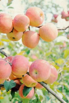 peach colored apples? Pink Lady Apples, Verduras E Legumes, Fritters, Just Peachy, Apple Orchard, Apfel, Fruit Trees, Fruit Fruit, Juicy Fruit