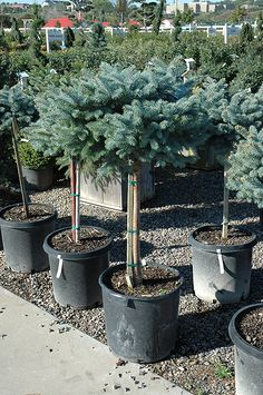 1000 ideas about blue spruce on pinterest cedrus deodara thuja occidentalis and evergreen for Stein s garden home