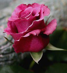 A single rose can be my garden... a single friend, my world.  ~Leo Buscaglia