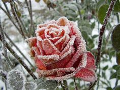 Frost, on a rose. - Imgur