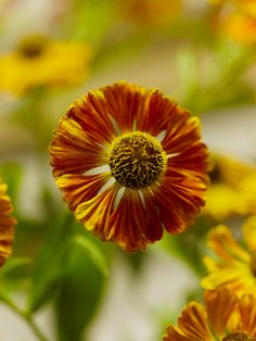 As the autumn sun - Helen's Flower (Helenium hybrida)