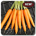 "Organic Resistafly F1 Hybrid Carrot - A high-quality Nantes carrot resistant to the Carrot Rust or Carrot Root Fly (psila rosea). Roots are 6-8"" in length, slender, cylindrical and attractive. In our northeast trials, tops stood strong against late season foliar diseases. Carrots have an excellent crunch."