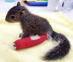A baby squirrel who fell 75 feet from her nest onto a concrete sidewalk earlier this week was brought to City Wildlife rehabilitation center in Washington, D.C., where she's being nursed back to health.