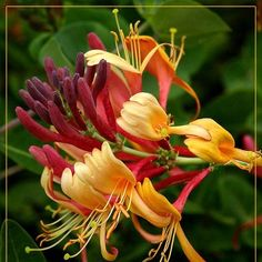 Honeysuckle plant.  --I love honeysuckle. I think it's my favorite type of flower. I have such good memories of a hot central Texas afternoon, and my mom teaching me how to pluck the stamen out of the flower to get at the sweet nectar.--