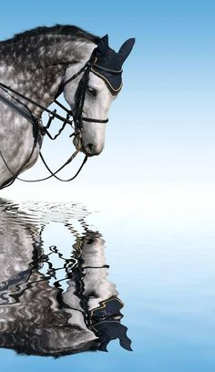 Dapple Grey Reflection, grey, blue sky, water, reflection, mirror, horse, hest, beautiful, gorgeous, photograph, photo
