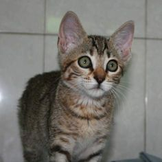 ELKE - Gato adoptado - AsoKa el Grande