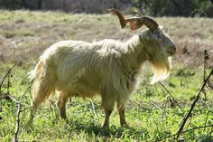 Old Billygoat Stock Photo, Picture And Royalty Free Image. Image ...