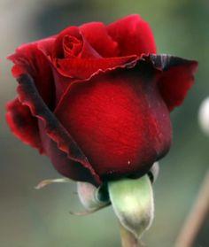 rosa rojo oscuro