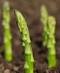 6 Perennial Vegetables to plant once and enjoy for years. #gardening #perennials #dan330 http://livedan330.com/2015/04/03/6-perennial-vegetables-you-plant-once-and-enjoy-forever/