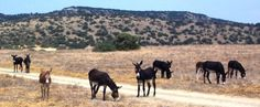 Wild donkey roam free up in the point of  North of Cyprus