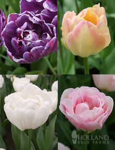 Elegant Double Tulip Collection with 44 bulbs