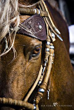 Peruvian paso Equine horse pony equestrian caballo pferde equestrian stallion gelding mare foal