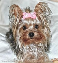 Yorkshire Terrier Dogs| Yorkshire Terrier Dog Breed Info & Pictures | petMD