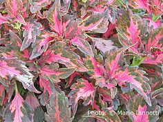 No other plant gives you as much punch drunk color, all season long, as coleus. These tender tropicals are easy to grow and complement every garden. Plant a rainbow.