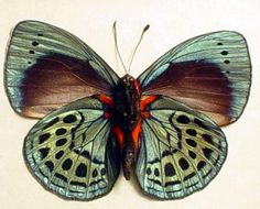 Callithea philotmia verso Real Framed Butterfly From Peru in a Conservation insect gift displays by butterfly-designs