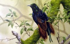 Bensbach's Bird of Paradise (Riflebird)