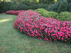 New Guinea impatiens | by Missouri Botanical Garden