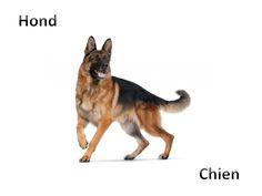 Hond - Chien