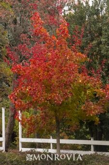 Monrovia's Autumn Blaze® Maple details and information. Learn more about Monrovia plants and best practices for best possible plant performance.
