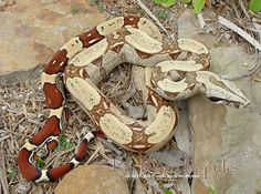 Another favorite of mine, they get too big though :( Red Tail Boa Geckos, Red Tail Boa, Cool Snakes, Boa Constrictor, Super Snake, Beautiful Snakes, Snake Patterns, Reptiles And Amphibians, Animal Kingdom