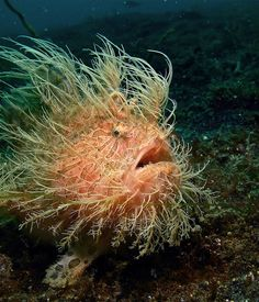 Hairy Frogfish ~ There's some pretty bizzarre looking things lurking down in the deep blue sea!