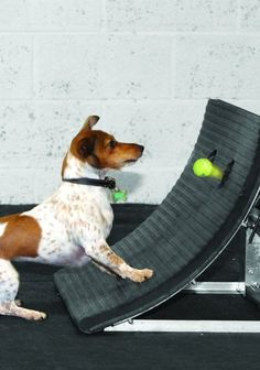 """Flyball height dog says: """"What? I have to catch a ball, too!? You're crazy!"""""""