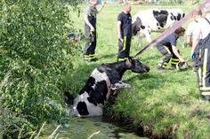 Oude koeien uit de sloot halen.