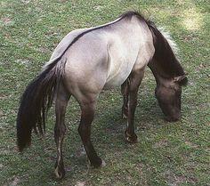tarpan - check out that dorsal stripe