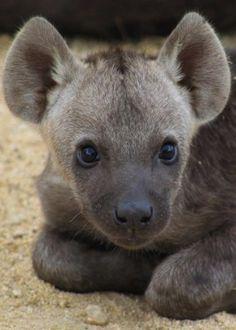 Baby Hyena <3