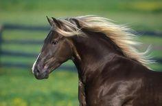 Rocky Mountain Horse.