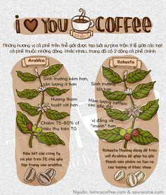 Infographic so sánh cafe arabica và robusta - Tâm Cà Coffee