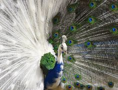 A peacock with a plume that is half white