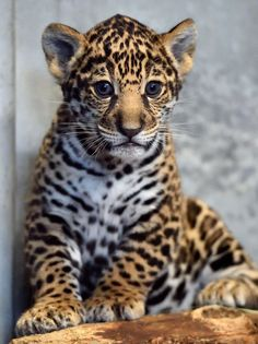 ZooBorns brings you a Jaguar cub from the San Diego Zoo. By Debbie Beals. Pretty Cats, Beautiful Cats, Animals Beautiful, Cute Funny Animals, Cute Baby Animals, Cute Cats, Zoo Animals, Animals And Pets, Baby Jaguar