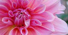 Kaum eine Gartenpflanze kann mit einer solchen Vielfalt an Formen und Farben aufwarten wie die Dahlien. Ihre Blüten leuchten schon von weitem.