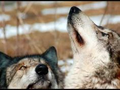 Wolf / Wolves Song -----Native American Indian's Brule 'Brave Hearts'