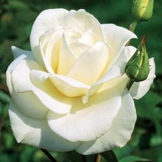 John F. Kennedy Hybrid Tea Rose Bush - Bareroot - One of the Most Popular Roses #hybridtearosesgarden
