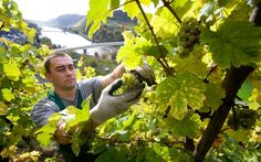 Germany's Wine Revolution Is Just Getting Started #wine #winery #germany #wineeducation