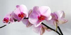 Por que minha orquídea tem as folhas amarelas Hair Accessories, Floral, Plants, Beauty, Beautiful Roses, Orchids Garden, Beautiful Flowers, Vegetable Gardening, Gardening