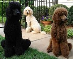 I actually like poodles when they're not shaved all weird.