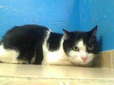 URGENT*NEUTERED 4 YR OLD MALE NEEDS ADOPT/FOSTER/RESCUE* THIS IS A COOL KITTY**PLEASE SOMEONE SAVE HIM**For more information on adopting please read the following:https://www.facebook.com/PetsOnDeathRow/app_396393053713168?ref=ts