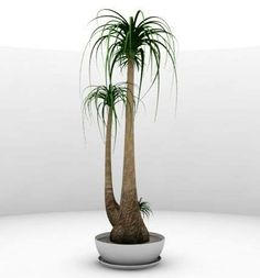 wish list for the new house plants beaucarnea