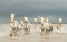 Camargue Horses Galloping through the Sea, Côte d'Azur, France by J. Alexander #CGE #wild #freedom pic.twitter.com/SnOPXLpjWX