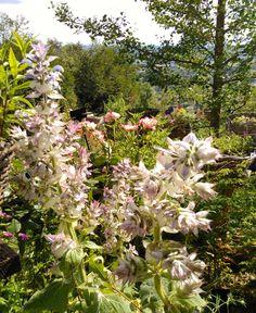 """PLANTES VIVACES-""""Les Jardins des Hurlevents """" http://www.plantes-vivaces-hurlevents.com/"""