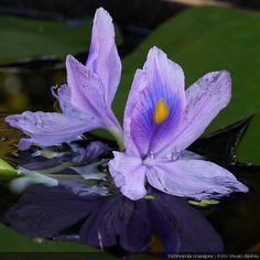 Eichhornia crassipes - Giacinto d'acqua