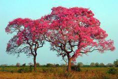 Piuva tree