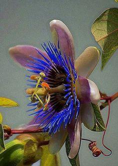 Flor maracujá!