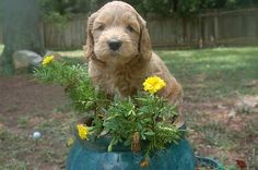 SkyeDoodles.com: Black Boy is almost ready to go home!! #labradoodle #australian_labradoodle #puppies #puppy #GA #Georgia #doodles #doodle